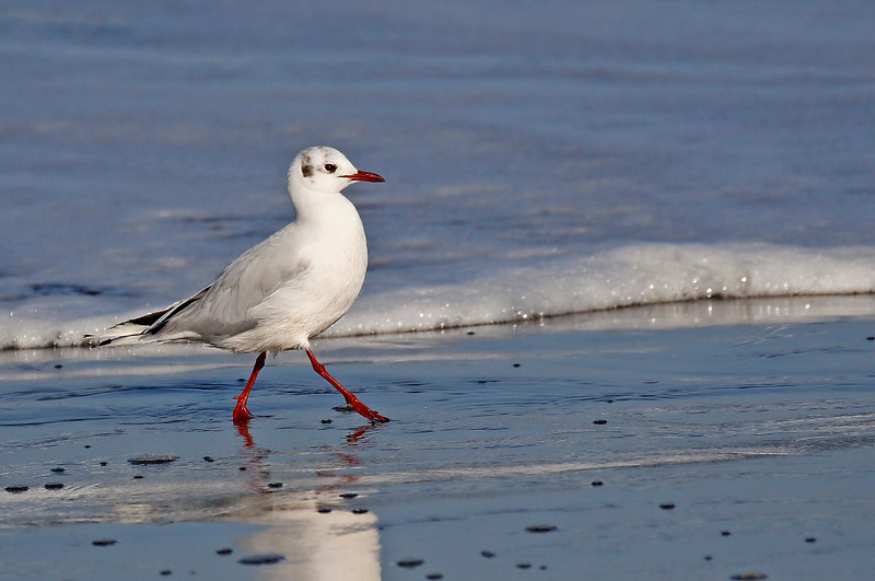 Brown-hooded Gull, non-breeding plumage