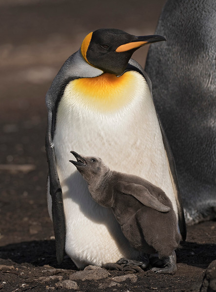 King Penguin, adult with chick