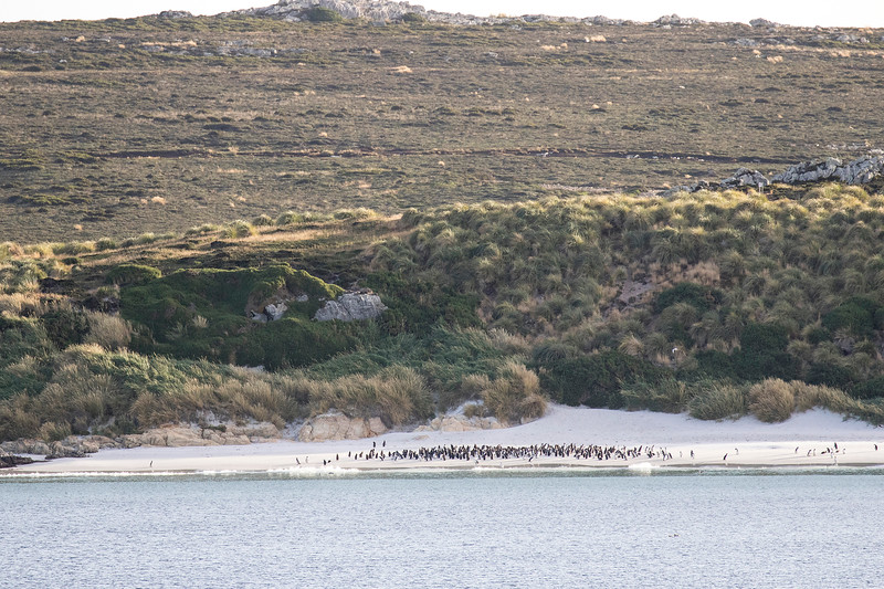 Magellanic Penguin Colony