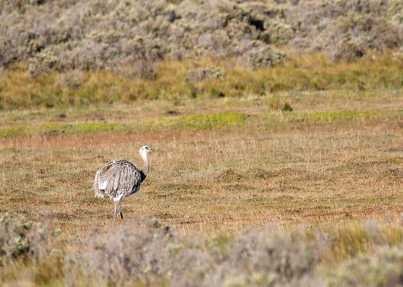 Lesser or Darwin's Rhea