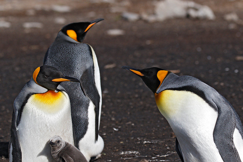 King Penguin, adults and chick