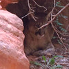 I captured this on the run while we were quickly exiting the canyon.  I believe the animal's leg was broken.  I still worry about his fate.  The ranger unsuccessfully tried scaring him off.