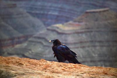 San Juan Raven