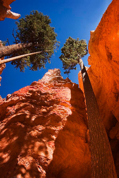 Skyward Pines on the Navajo Loop Trail - Bryce Canyon National Park, Utah - Jerry Negele - November 2007