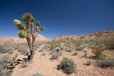 Joshua Tree.  Northern Arizona.