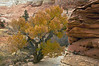 High desert tree - Zion National Park - Doug Beezley - November 2011