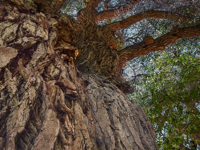 Venerable Cottonwood Tree