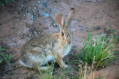 Canyonlands Cottontail
