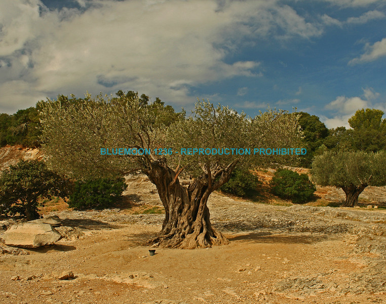 Old olive tree surrounded by other olive trees and framed by blue sky with white puffy clouds at Pont Du Gard aqueduct ,Bluemoon Fine Photography