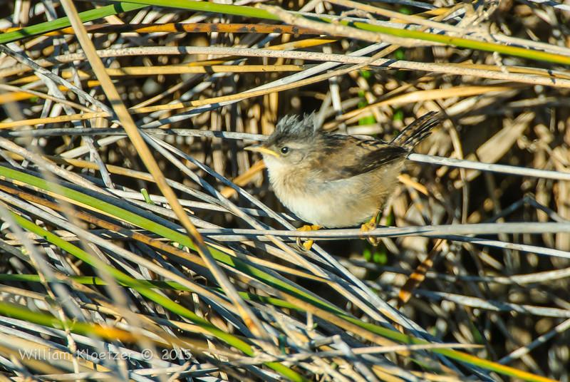 Marsh or Winter Wren