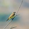 "Cassin""s Kingbird"