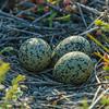Dunlin eggs?