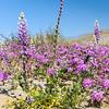 Desert Lupine, Sand Verbena