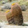 CA Barrel Cactus