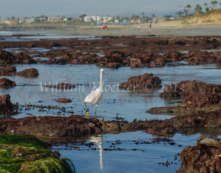 Snowy Egret (Egretta thula) Long-legged waders Carlsbad tide pools