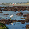 Snowy Egret (Egretta thula) Long-legged waders Carlsbad tide pools