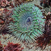 Green Anemone (Anthopleura sola) phylum Cnidaria - class Anthozoa - subclass Hexacorallia Carlsbad tide pools