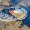 Giant Keyhole Limpet (Megathura crenulata) phylum Mollusca - class Gastropoda - clade Vetigastropoda, Carlsbad tide pools
