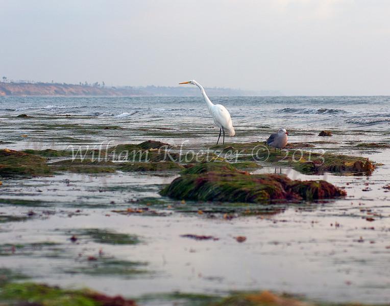 Great Egret (Ardea alba) Long-legged waders Carlsbad tide pools
