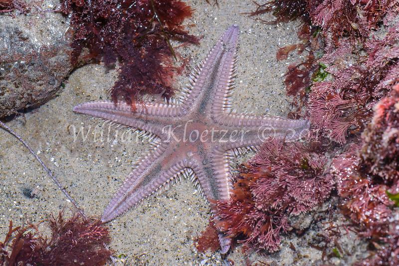 Spiny Sand Star (Astropecten armatus) phylum Echinodermata - class Asteroidea Carlsbad tide pools