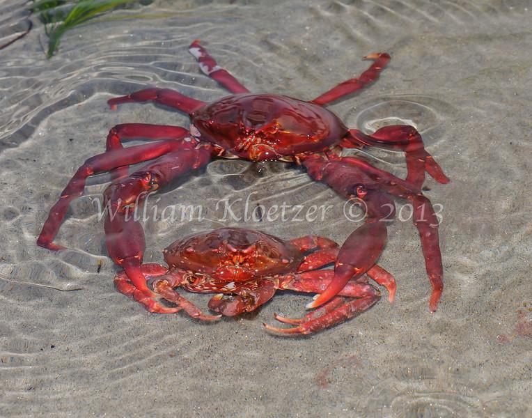 Southern Kelp Crab (Taliepus nutallii ) phylum Arthropoda - subphylum Crustacea - class Malacostraca - order Decapoda Carlsbad tide pools