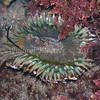 Green Anemone (Anthopleura sola)<br /> phylum Cnidaria - class Anthozoa<br /> Carlsbad tide pools