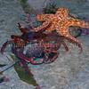 Southern Kelp Crab (Taliepus nuttallii)<br /> Ochre Star (Pisaster ochraceus)<br /> Carlsbad tide pools