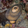 Giant Keyhole Limpet (Megathura crenulata) phylum Mollusca - class Gastropoda - clade Vetigastropoda Carlsbad tide pools