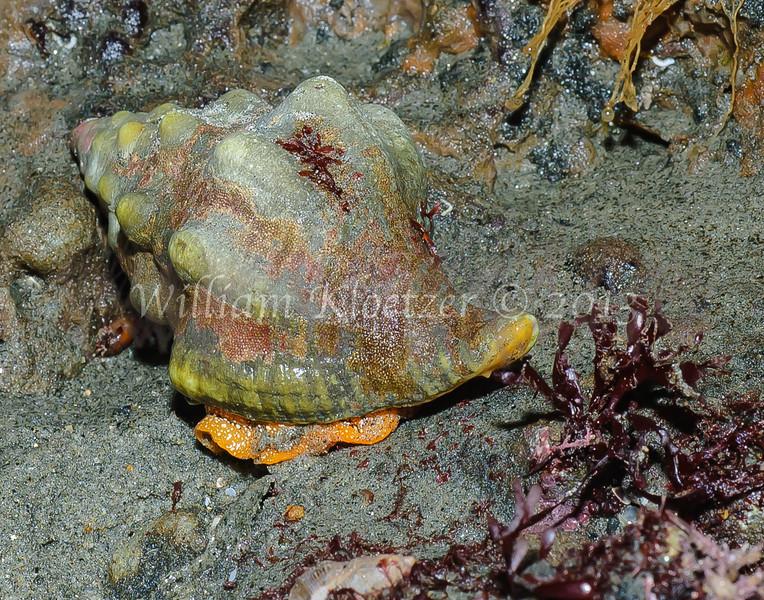 Kellet's Whelk (Kelletia kelletii) phylum Mollusca - class Gastropoda - clade Caenogastropoda Carlsbad tide pools