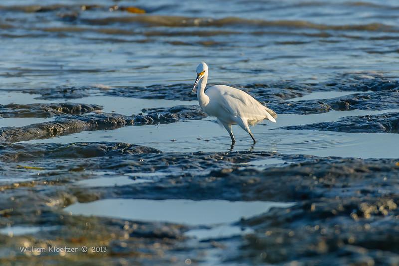 Snowy Egret (Egretta thula) Long-legged wader, Carlsbad tide pools