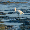 Snowy Egret (Egretta thula) Long-legged wader, Carlsbad tide pools