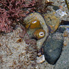 Two-spot Octopus (Octopus bimaculatus) phylum Mollusca - class Cephalopoda - subclass Coleoidea - superorder Octopodiformes Carlsbad tide pools