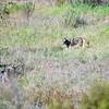 Coyote, Daley Ranch, CA