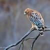 Red-shouldered Hawk, Daley Ranch, CA
