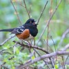Spotted Towhee, Daley Ranch, CA