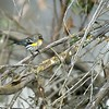 Yellow-rumped Warbler, Daley Ranch, CA
