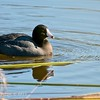 American Coot, Daley Ranch, CA