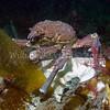 Sheep Crab (Loxorhynchus grandis)<br /> phylum Arthropod - subphylum Crustacean - class Malacostraca - order Decapod<br /> La Jolla Cove