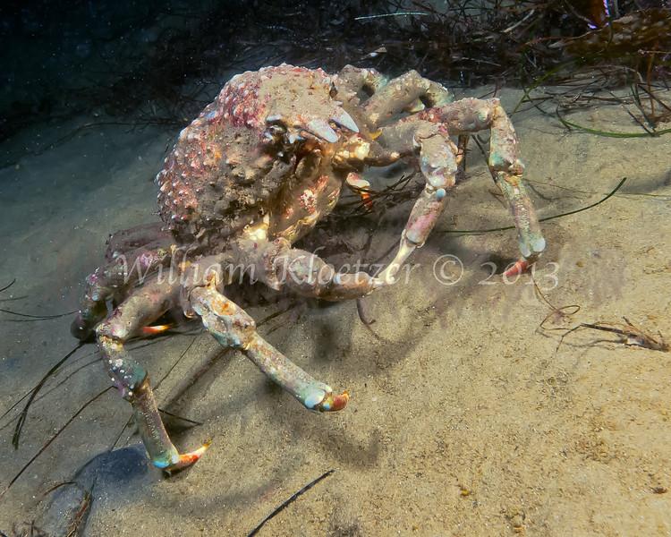 Sheep Crab (Loxorhynchus grandis) phylum Arthropoda - subphylum Crustacea - class Malacostraca - order Decapoda, La Jolla Shores