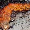 Warty Sea Cucumber (Parastichopus parvimensis)<br /> phylum Echinoderm - class Holothuroidea<br /> La Jolla Shores