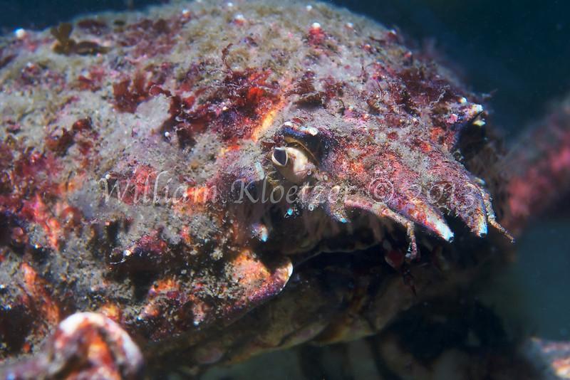 Sheep Crab (Loxorhynchus grandis)<br /> phylum Arthropod - subphylum Crustacean - class Malacostraca - order Decapod<br /> La Jolla Shores
