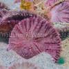 Sand Dollar (Dendraster excentricus) phylum Echinodermata - class Echinoidea La Jolla Shores