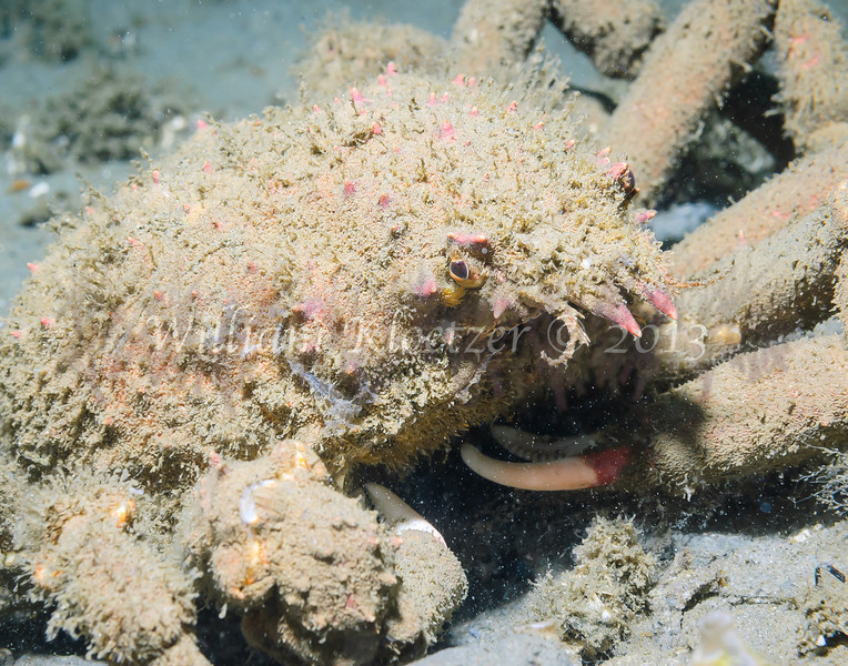 Sheep Crab (Loxorhynchus grandis) phylum Arthropoda - subphylum Crustacea - class Malacostraca - order Decapoda La Jolla Shores