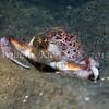 Purple Globe Crab (Randallia ornata)<br /> phylum Arthropod - subphylum Crustacean - class Malacostraca - order Decapod<br /> La Jolla Shores