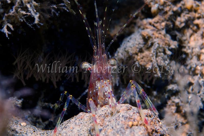 Coonstripe Shrimp (Pnadalus gurneyi)<br /> phylum Arthropod - subphylum Crustacean - class Malacostraca - order Decapod<br /> La Jolla Shores