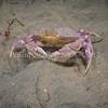 Slender Crab (Cancer gracilis) phylum Arthropoda - subphylum Crustacea - class Malacostraca - order Decapoda La Jolla Shores