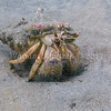 Hermit Crab (Paguristes ulreyi) phylum Arthropoda - subphylum Crustacea - class Malacostraca - order Decapoda La Jolla Shores