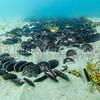 Sand Dollars:  class Echinoidea - phylum Echinoderm; La Jolla Shores
