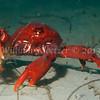 Southern Kelp Crab (Taliepus nuttallii)<br /> phylum Arthropod - subphylum Crustacean - class Malacostraca - order Decapod<br /> La Jolla Shores