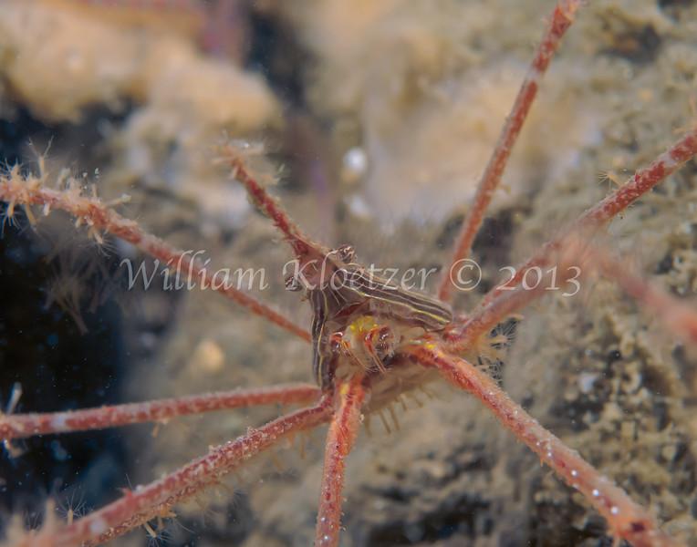 Panamic Arrow Crab (Stenorhynchus debilus) phylum Arthropoda - subphylum Crustacea - class Malacostraca - order Decapoda, La Jolla Shores